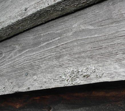 Enkelte bord på noen av veggene er angrepet av lav og sopp, men råteeksperten mener det ikke fører til raskere nedbrytning av veden.